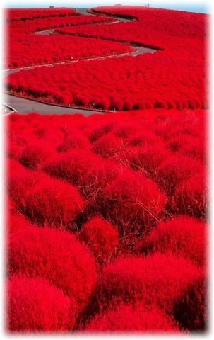 コキアの紅葉がキレイな頃
