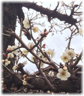 白梅が香る庭