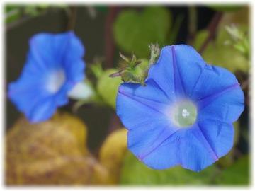 小さめな花の青い朝顔