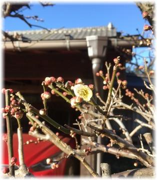 庭の梅の木に花が咲いてる