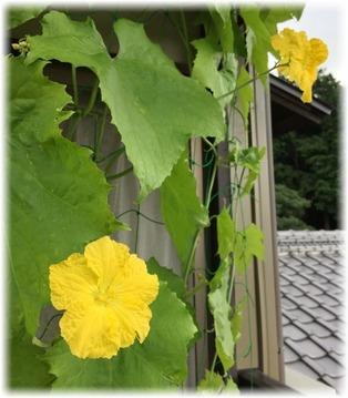 糸瓜の花🌼が順調に開花中
