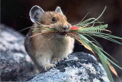 Picture-of-American-Pika