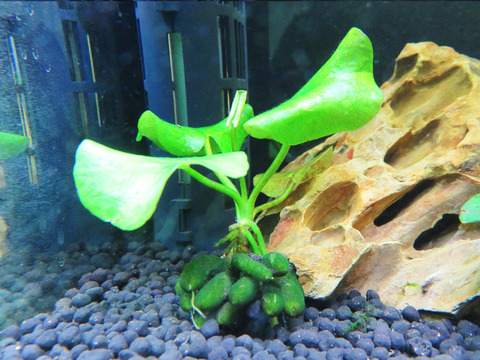 7.5リットル水槽「バナナプラント」というオモシロ水草