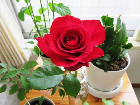 40代独身男性が部屋にバラの花を飾る理由は「サムライ精神」