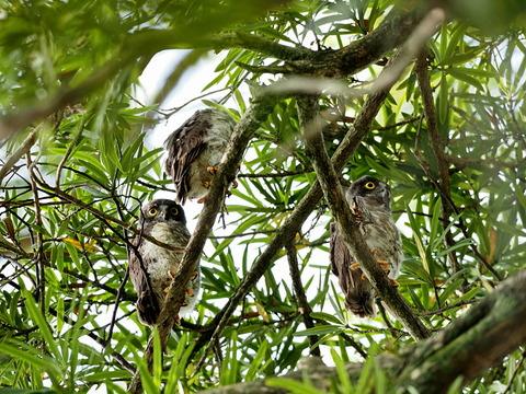 ③三羽のアオバズク雛鳥巣立ち2日目