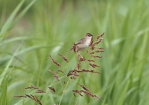 ④草原のセッカさん