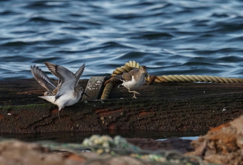 ④羽ばたくハマシギとイソシギ
