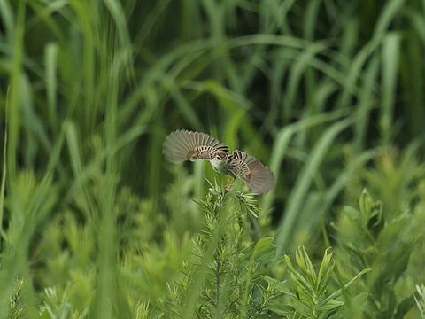 ⑪羽ばたく草原のセッカさん