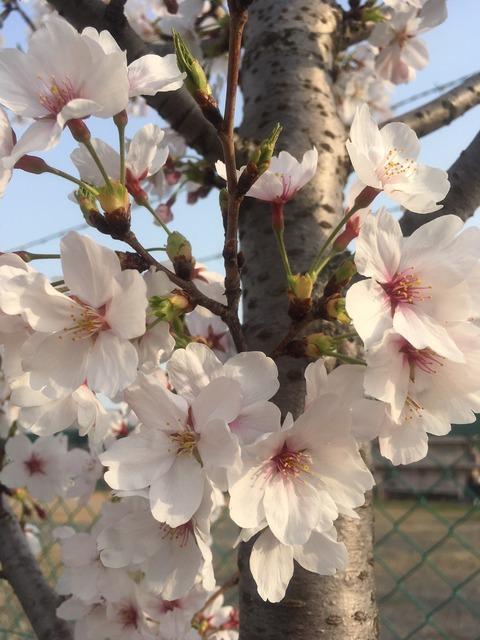 2018年桜4