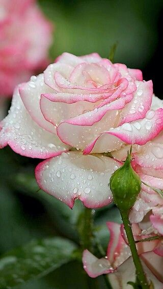 pink縁取り薔薇