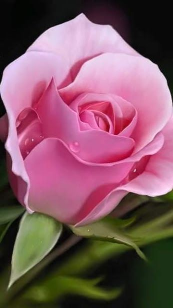 濃い目の薔薇