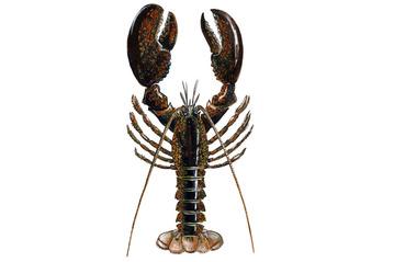 American lobster (Homarus americanus)