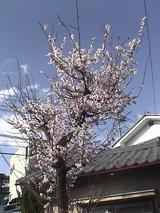 20060419梅の木