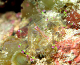花笠クラゲ