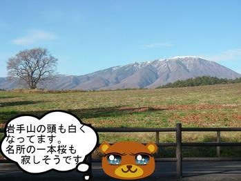 秋の一本桜.JPG