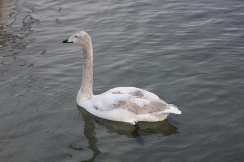 白鳥(子)1