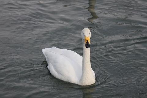 白鳥(親)