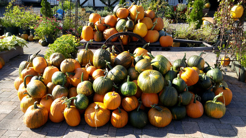 ニセコ駅のかぼちゃ群