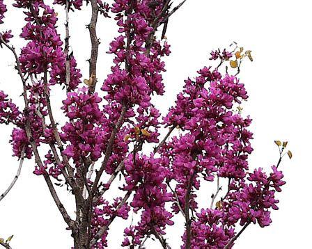 もの言う翔年(ユリウス):花蘇芳(ハナズオウ)=紫荊(ハナズオウ)