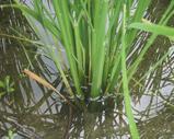 普通の稲株