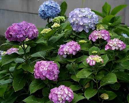 もの言う翔年(ユリウス):紫陽花づくし