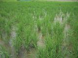 無農薬有機農業の水田