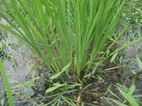 有機農業の稲株