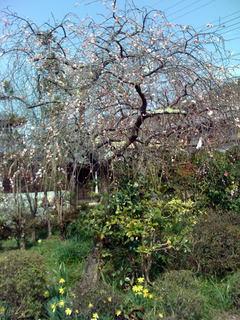 枝垂れ梅と水仙_1
