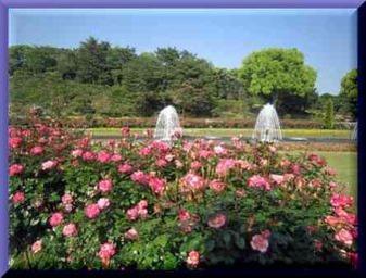 須磨公園のバラ