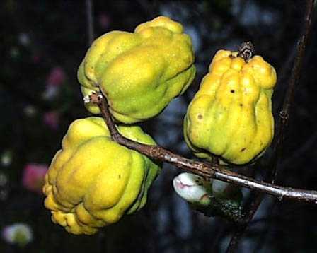 もの言う翔年(ユリウス):木瓜(ボケ)の花