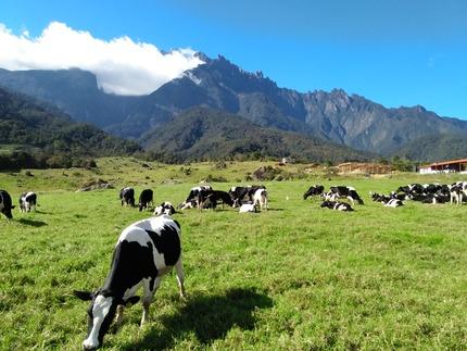 Sabah_Tourism-Siti Nadzirah-PIC_207_desa_cattle