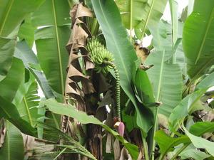 パンダウボルネオ201003 084