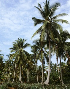 1128_coconutTree1