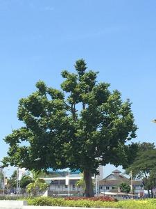 IPOH_2_イポーの木