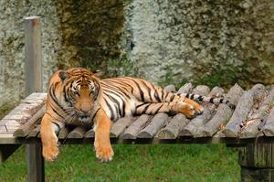 KK_LokKawi_Tiger2775