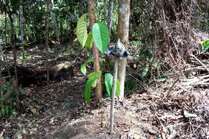 tree planting apeng seedling