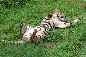 KK_LokKawi_Tiger2794