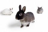 ウサギ3羽