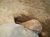 穴掘りウサギ2
