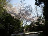 桜2009(2)