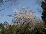 桜2009(1)