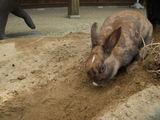 穴掘りウサギ1