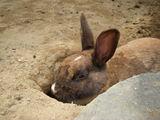 穴掘りウサギ3