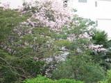 タイの桜?