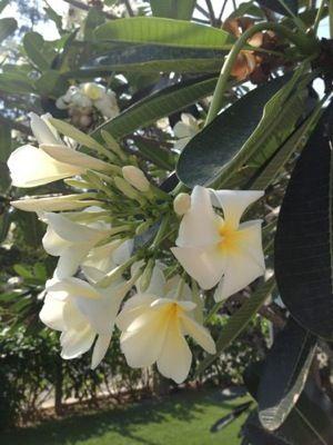 タイ プルメリア