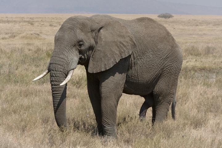 Serengeti_Elefantenbulle