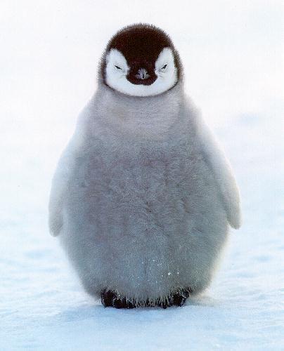 penguin-chick