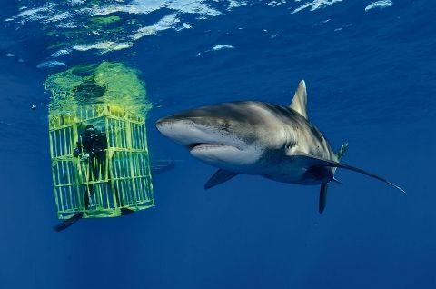 【動画】巨大なサメが檻を破って・・・これは怖い!!