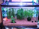 New金魚