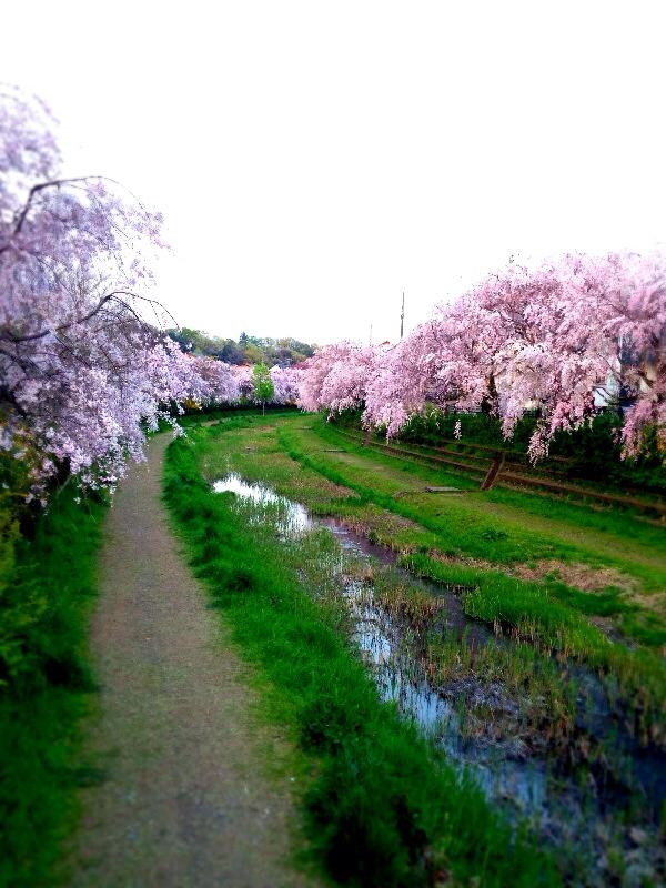 hanami2014_musashinokoen_2